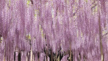 Wisteria in Tochigi Prefecture