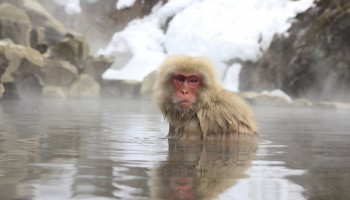 Monkeys bathing in the onsen in Nagano