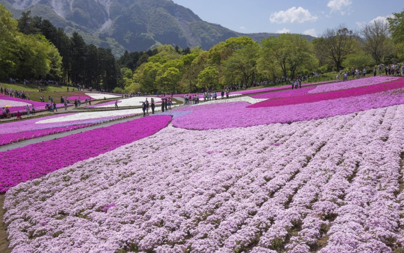 Flower-viewing at Hitsujiyama Park, Chichibu in Saitama Prefecture