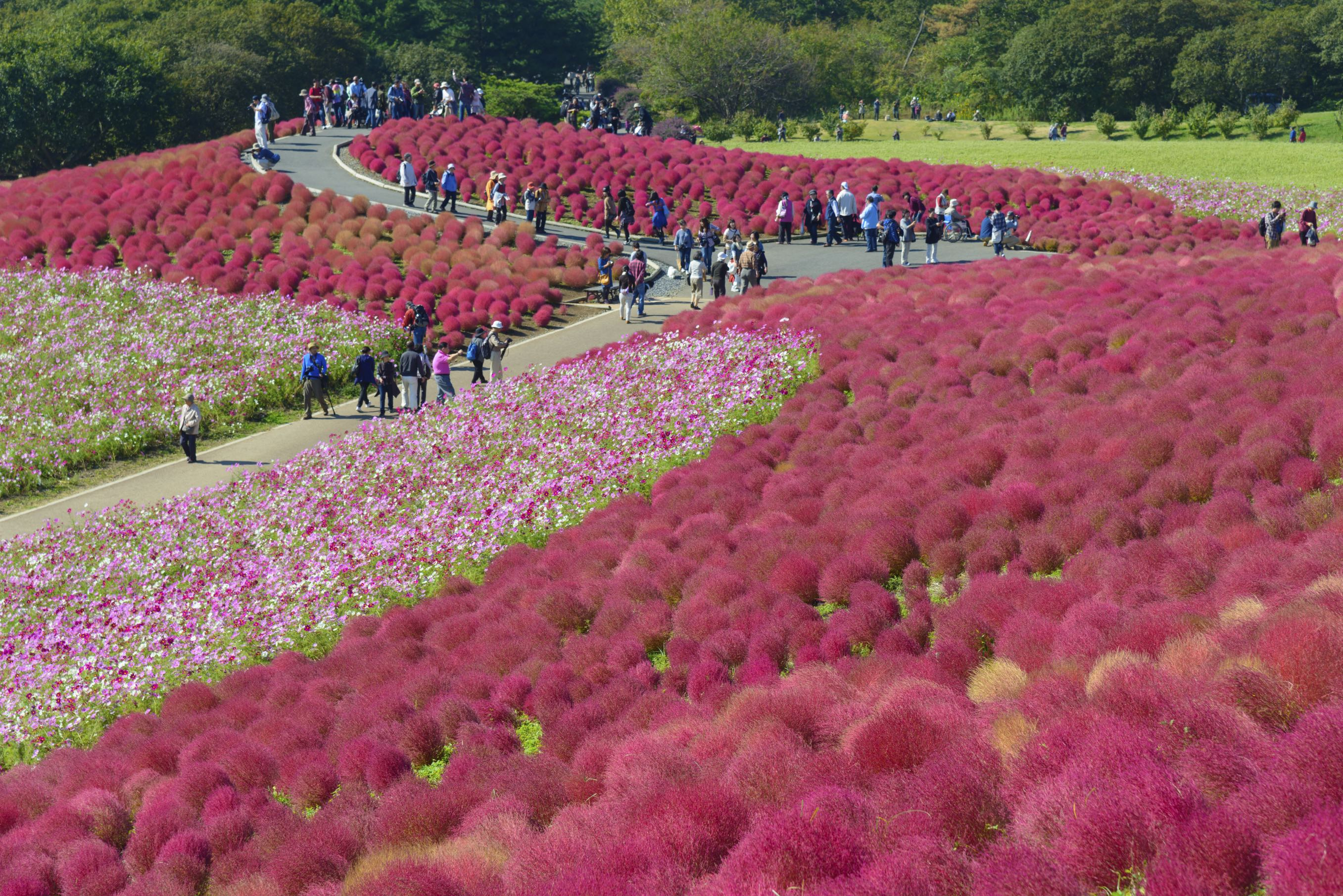 Autumn in Hitachi seaside park Ibaraki