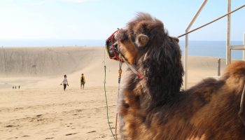 A camel looking out over the Tottori sand dunes