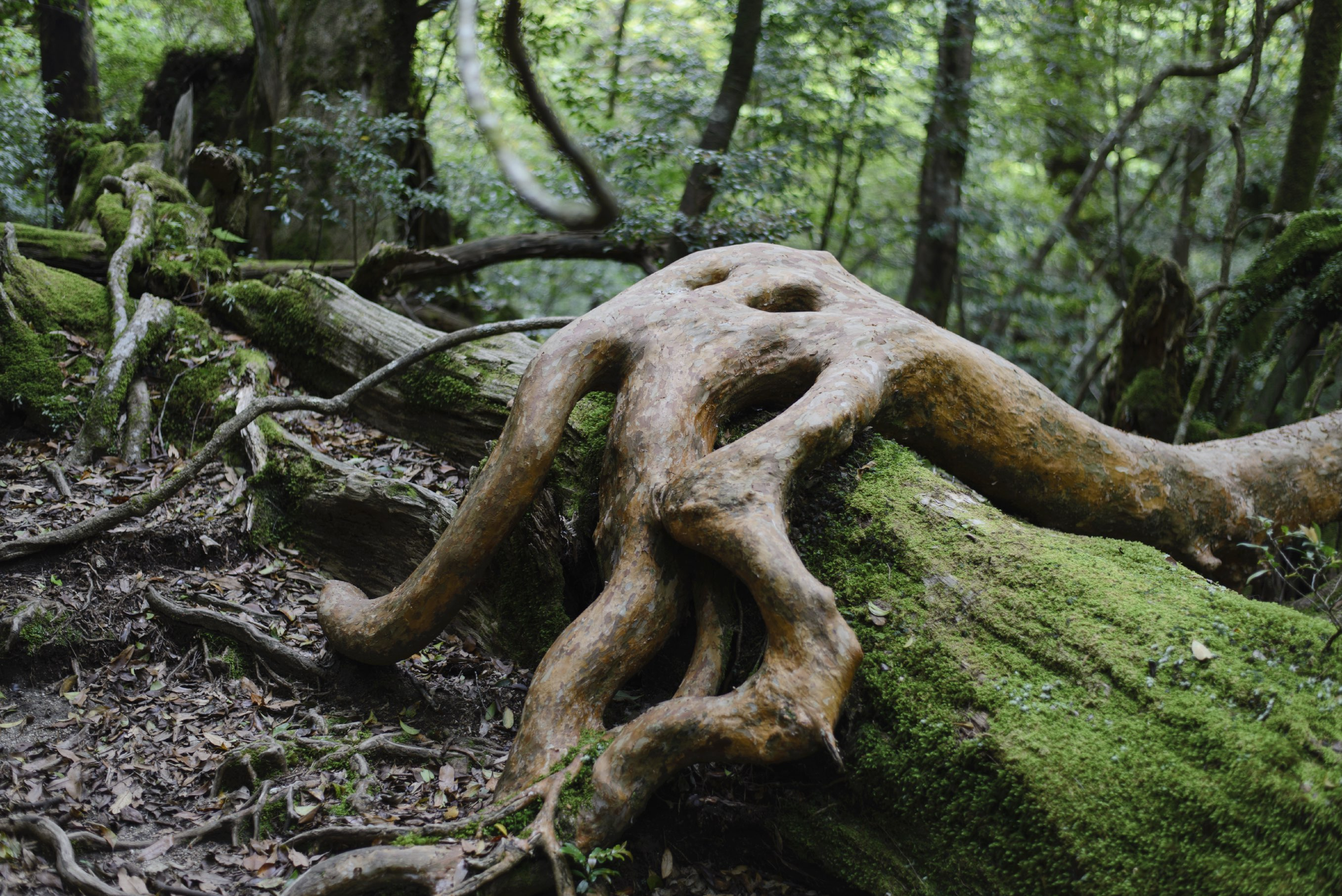 The incredible Yakushima forest has some of the most breathtaking hiking routes in Japan.