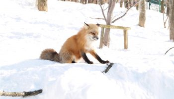 Zao Fox Village Japan