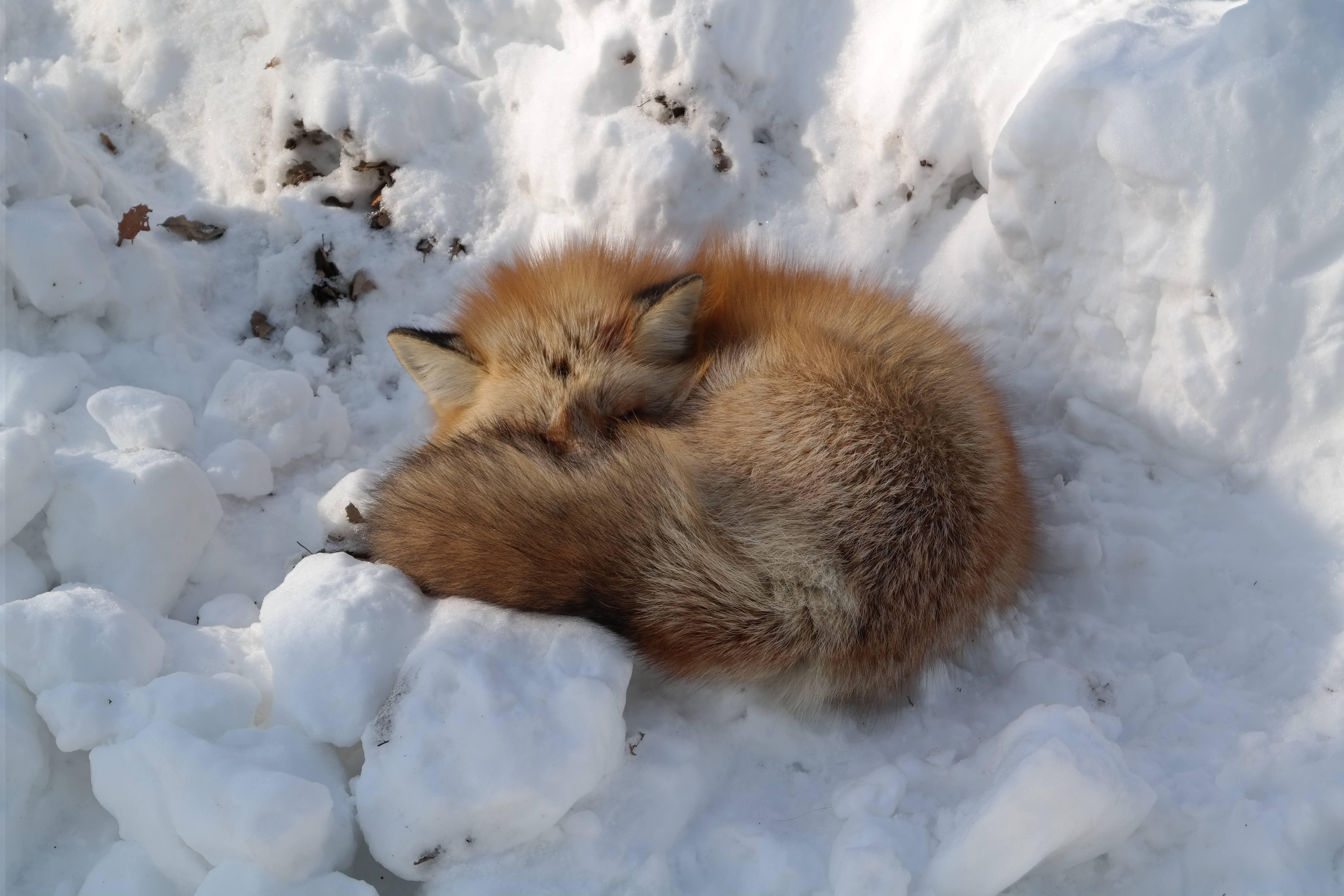 A sleeping fox at Zao Fox Village, Japan.