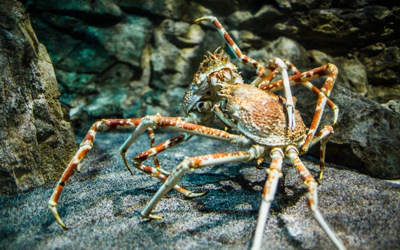Giant Japanese spider crab- (Macrocheira kaempferi)