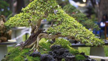 Bonsai on display.