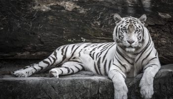Close up portrait of White Tiger for Tobu Zoo in Saitama.