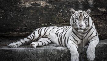 Close up portrait of White Tiger for Tobu Zoo in Saitama.